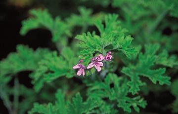 Geranium rosat
